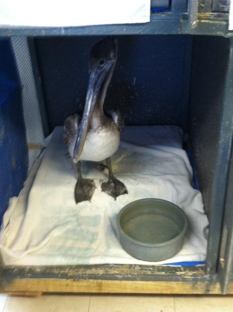 This young, female pelican was found in Key West