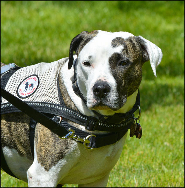 Service dog with brown and white spots