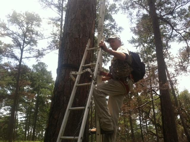 Cox begins climbing the tree to reach the woodpecker nest