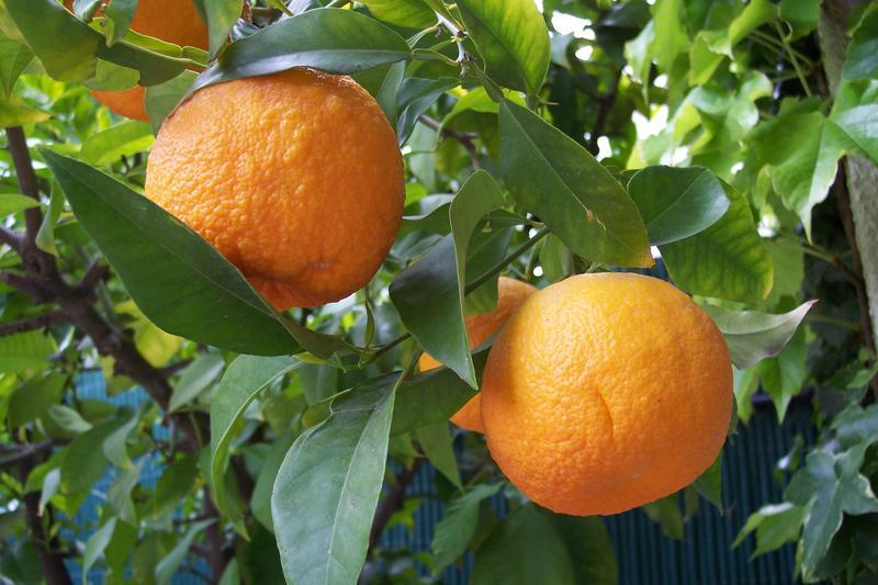 Citrus greening (Huanglongbing) is reeking havoc on Florida's citrus industry.