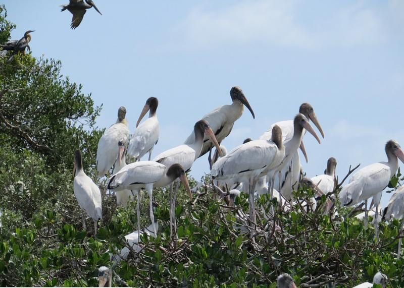 Many wood storks on Bird Island, a Critical Wildlife Area (CWA) in Martin County