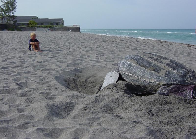 Leatherback Turtle Nesting