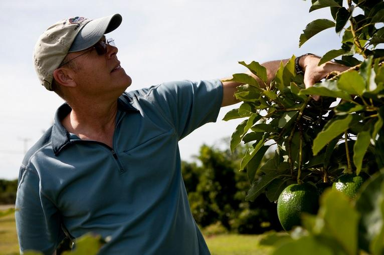 Jonathan Crane, professor of horticultural sciences, inspecting an avocado tree at the Tropical Research and Education Center in Homestead.