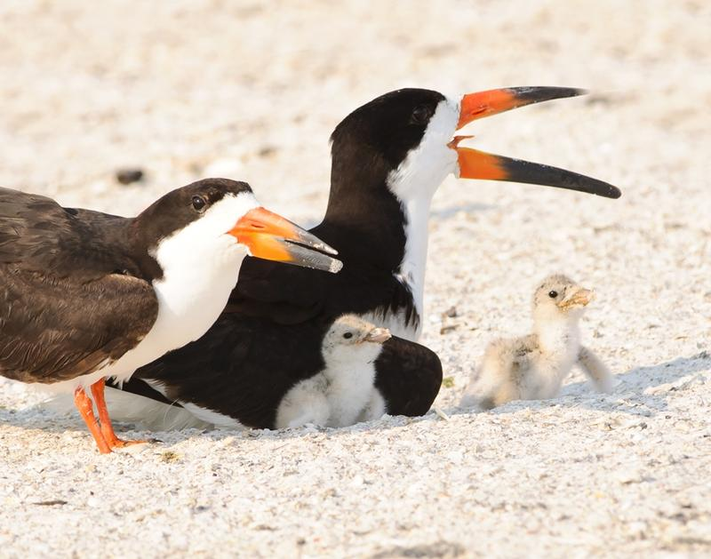 Black Skimmer family with chicks
