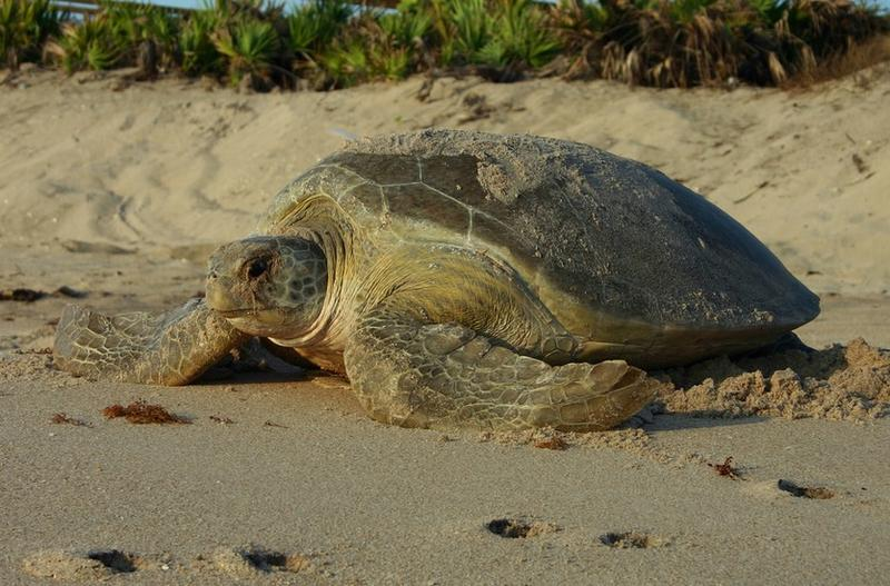 A green turtle nesting