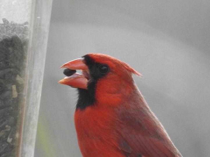 A red cardinal