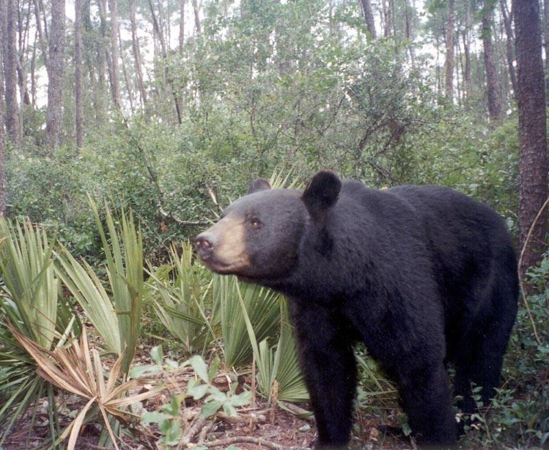 A Florida Black Bear.