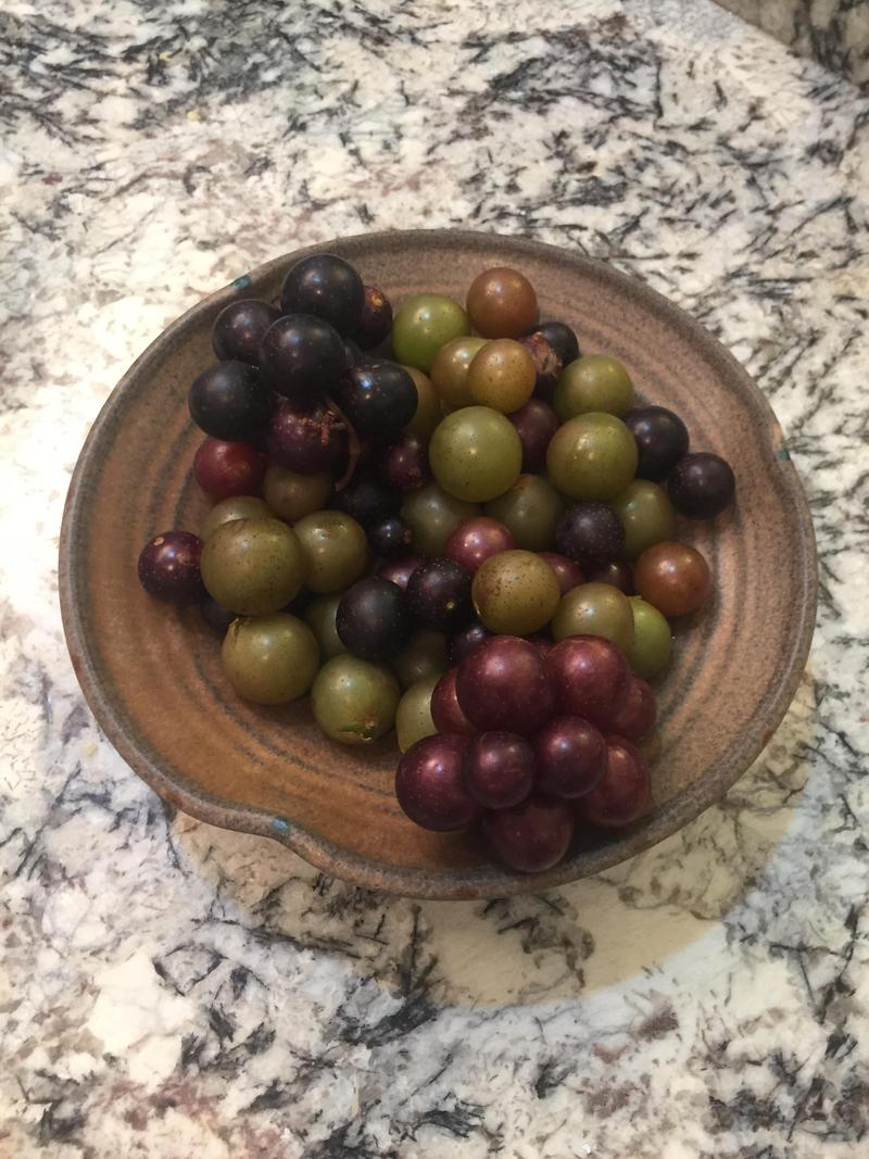 There a number of varieties of muscadines, ranging in flavor, color and size