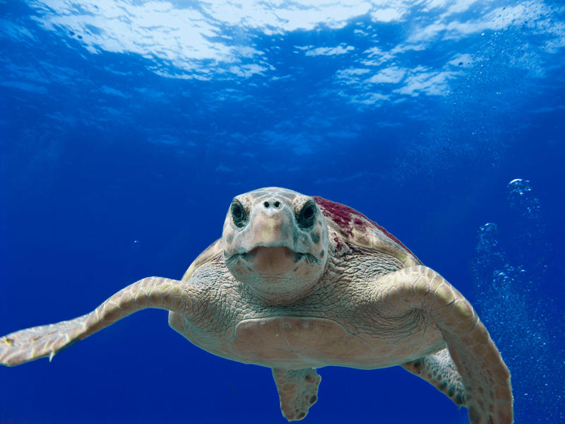 The Loggerhead Sea Turtle is Florida's official salt water reptile.