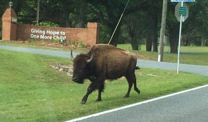 Bison walking down Buck Lake road in Tallahassee