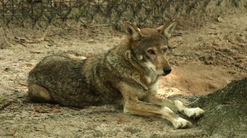 Louisiana as part of a breeding program.