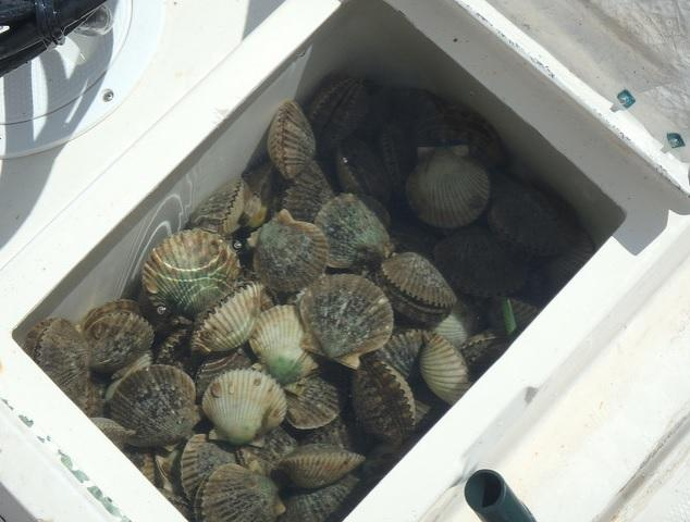 A container full of scallops