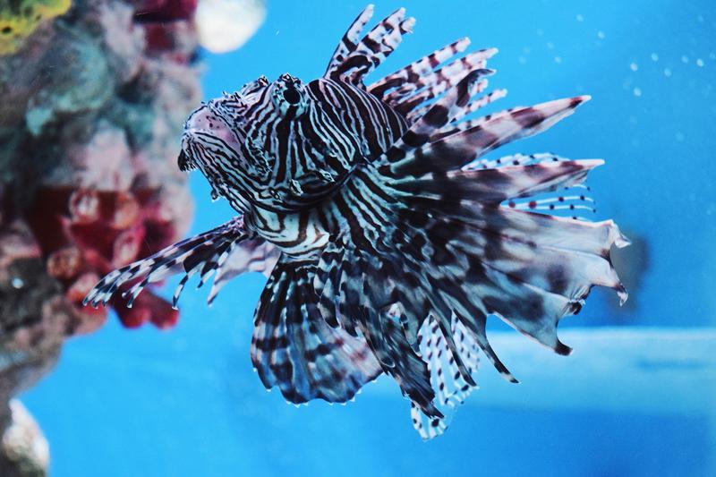 A lionfish.