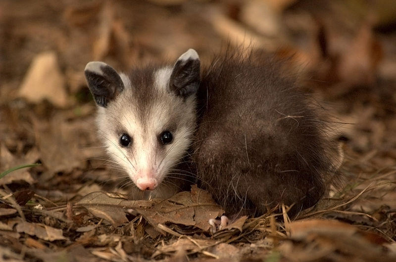 Opossums may hold the key to saving thousands of lives a year
