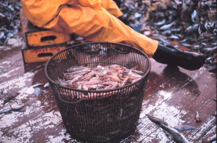 Shrinking Gulf Shrimp Harvest Linked to Lingering Red Tide