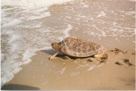 USGS study finds some Loggerhead Sea Turtles traveling up to 250 miles between nesting beaches in a matter of days.