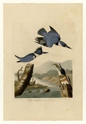 Plate 77 of Birds of America by John James Audubon depicting Belted Kingfisher.