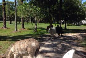 Teddy Naftal's small herd of cattle.