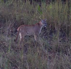 A picture of a Florida Panther Ted Naftal took with his phone near his property in Naples.