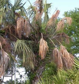 Pa Programs In Florida >> Scientists Warn a New Disease Threatens Florida Palm Trees ...