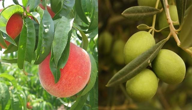 how to grow peaches in florida