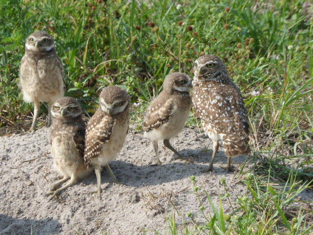 Burrowing Owls In Burrows