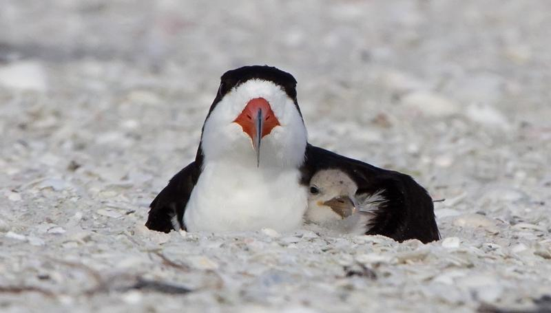 A Black Skimmer parent protecting its chick.