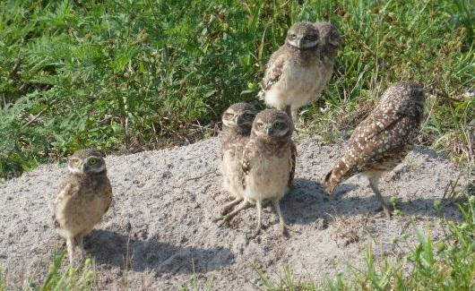 Animal advocates say Cape Coral's burrowing owl and gopher tortoise populations are declining due to development in the city.