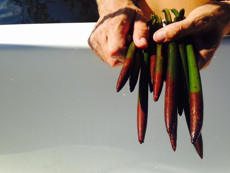Red mangrove propagules are seedlings. They take root when the reddish-brown ends are planted into a bank's shoreline.