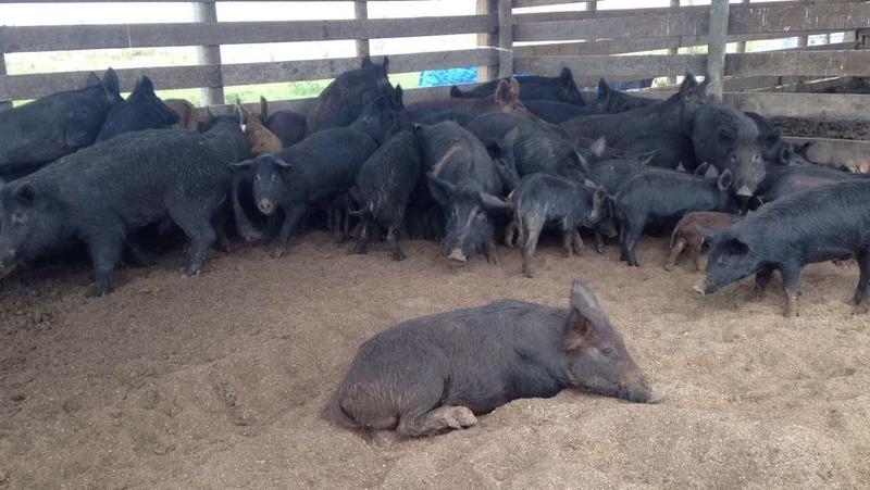 A couple dozen wild hogs trapped by locals and sold to Three Suns Ranch in Charlotte County for meat.