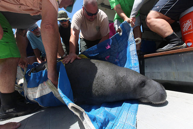A manatee, removed from Lee County waters by FWC for reasons unrelated to red tide, in August 2016.