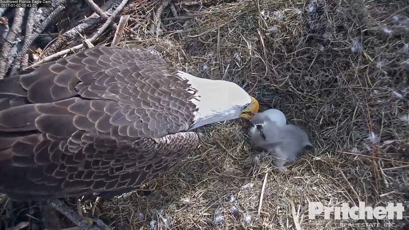 Hatching Eggs on Fort Myers 'Eagle Cam' Capture ...