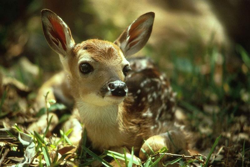 http://maxpixel.freegreatpicture.com/Portrait-Wild-Baby-Fawn-Wildlife-Cute-Deer-Young-597528