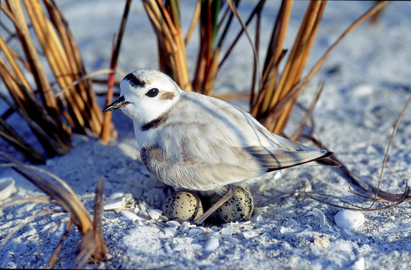 A snowy plover on its nest in March 2012.
