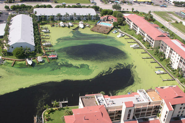 Algae bloom around docks in Florida.