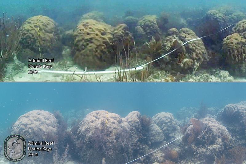 "Images from a CREMP Coral Reef Monitoring site called Admiral Reef.  The large ""star corals"" were nearly all alive in 2007 (upper image).  Rob Ruzicka said they all died by 2010 as reflected in the coral skeletons from the same site in 2014 (lower image)."