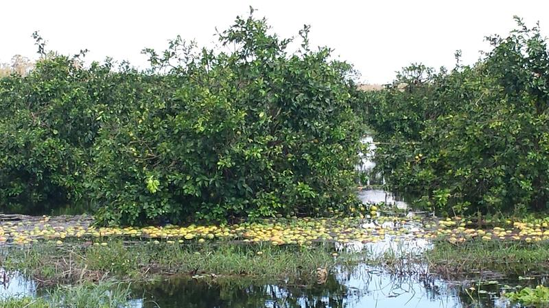 A grapefurit grove where 90 percent of fruit is seen floating in floodwaters. The flooding will affect the long-term health of the tree.