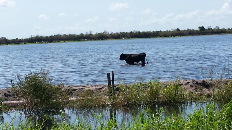 A lonely cow in the middle of a flooded Hendry County pasture.
