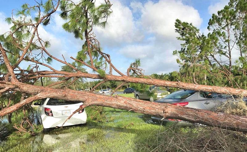 Trees fell on cars that were parked in the outskirts of Germain Arena's parking lot during Hurricane Irma.