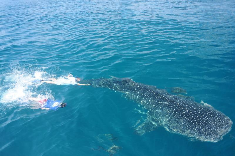Mote Marine Laboratory scientists work to place a scientific tag on a whale shark in the Gulf of Mexico