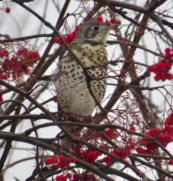 A Mistle Thrush in Miramichi, New Brunswick on Dec. 13, 2017.