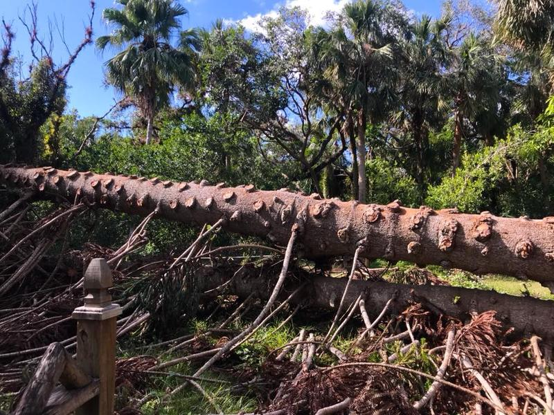 The Monkey Puzzle Tree at the Koreshan State Historic Site felled by Hurricane Irma