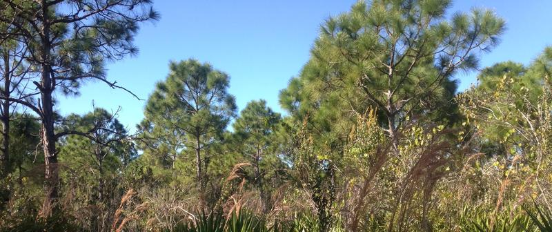 Pine Island Flatwoods Preserve in Saint James City.