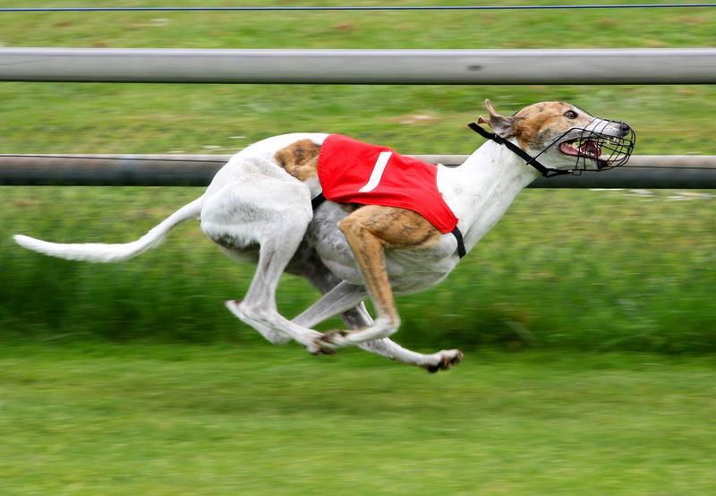 Racing Greyhound