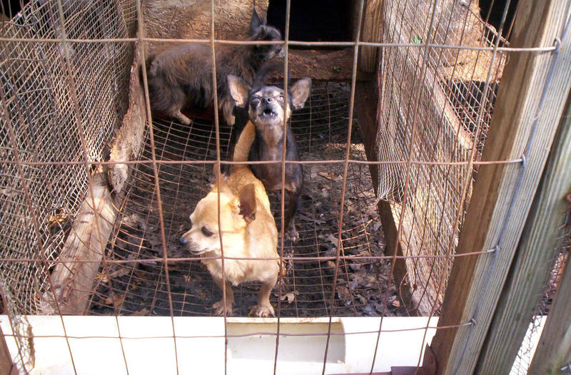 Miniature breed dogs in a puppy mill