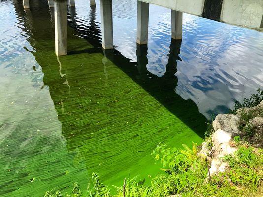 Algae blooms at the foot of the Fort Denaud bridge in Hendry County.