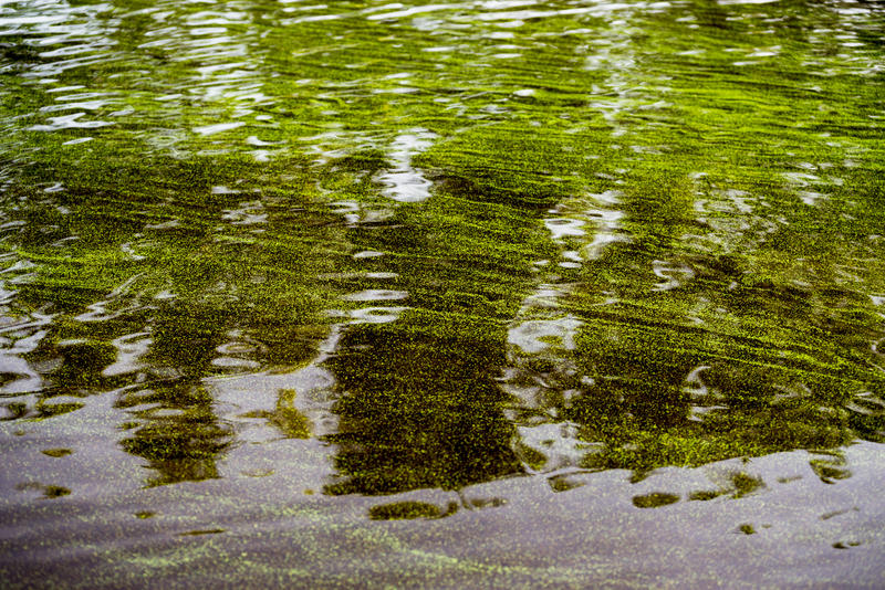 Caloosahatchee River water laden with toxic blue-green algae in July 2018
