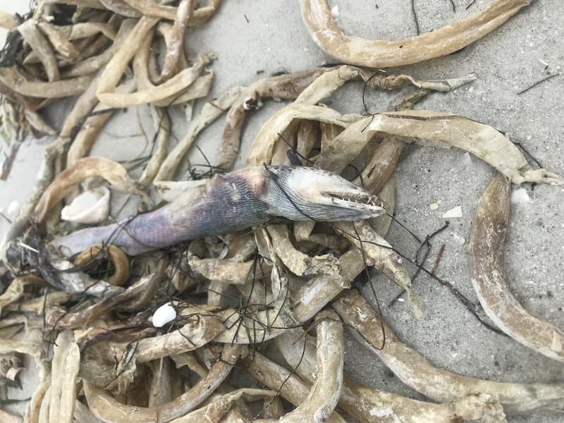 Eel washed ashore on the Sanibel Causeway.