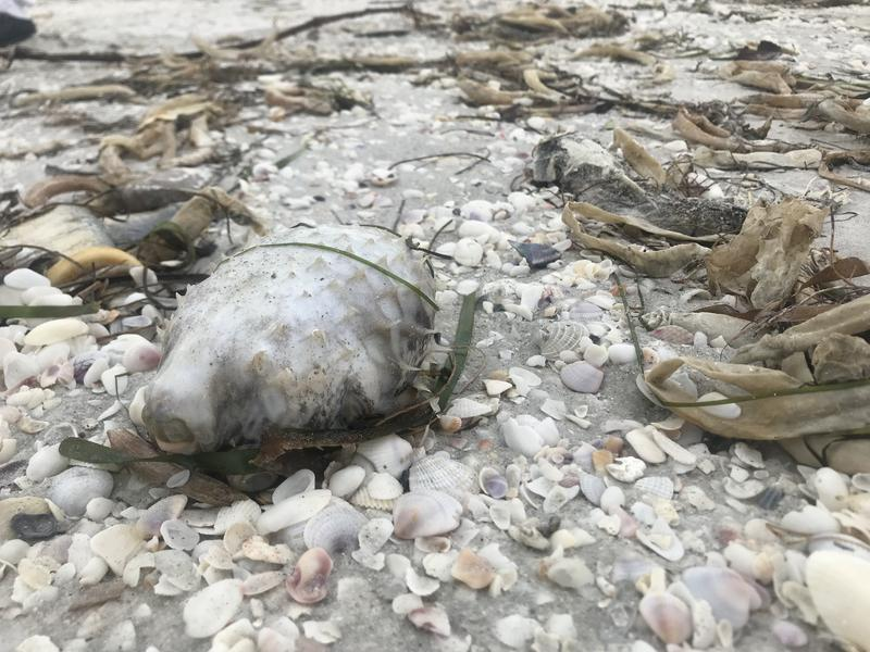 Pufferfish washed ashore on the Sanibel Causeway.