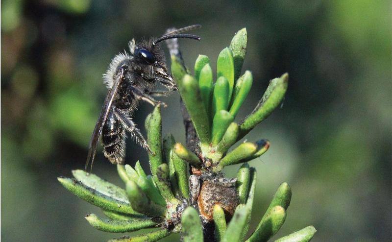 A native bee foraging on a moldy, nonflowering shrub.